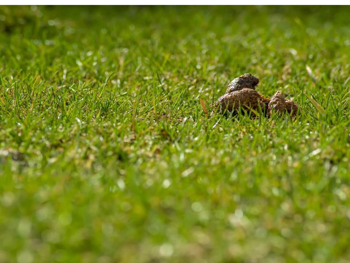 Una caca de perro en una hierba.