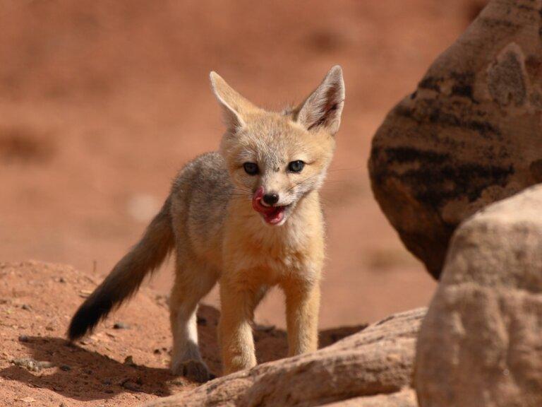 Zorro veloz: hábitat y características