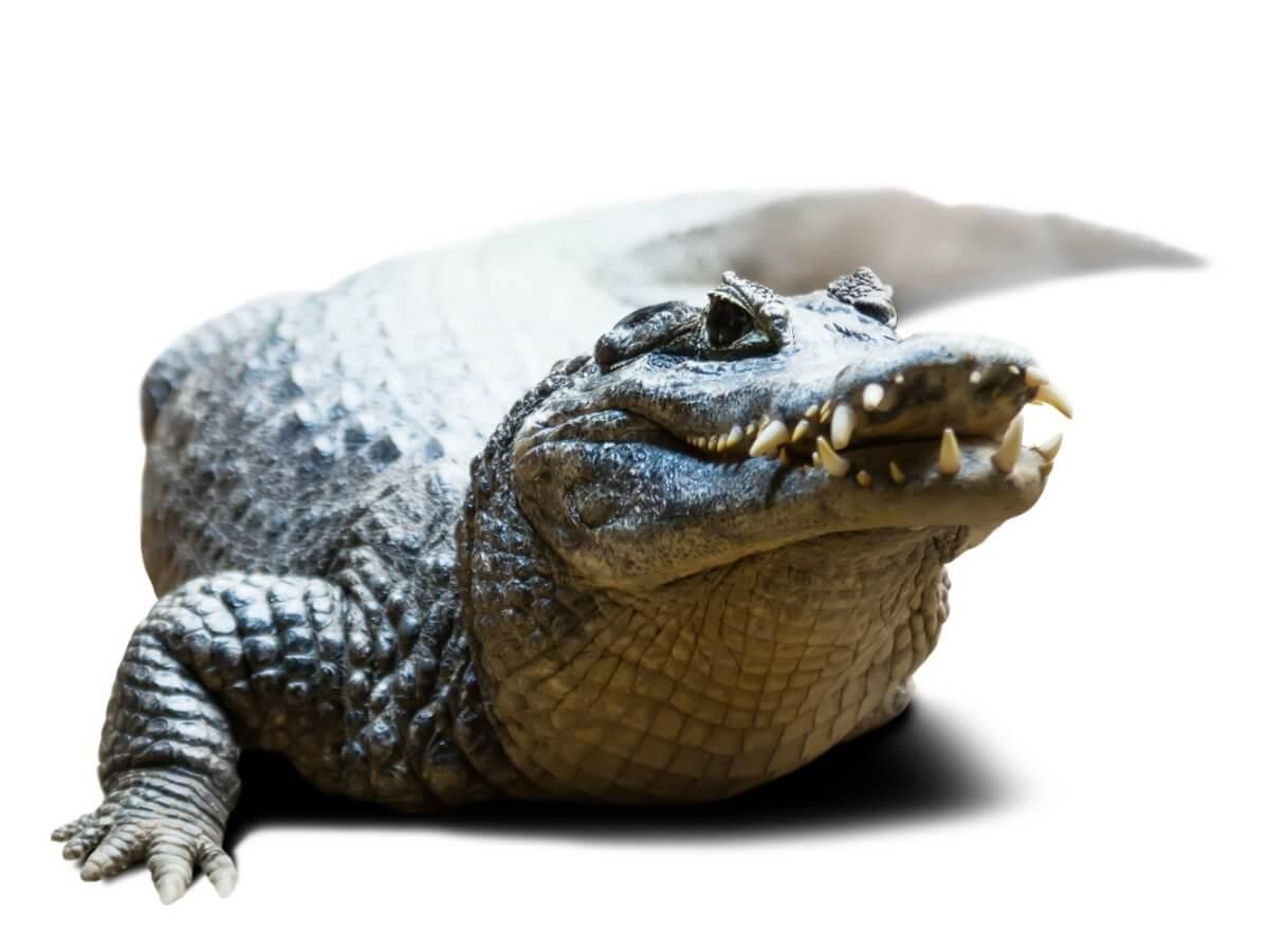 Un caimán sobre un fondo blanco.