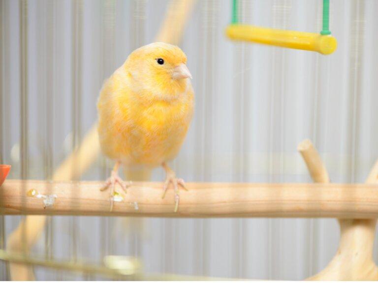 ¿Por qué mi canario se hincha y ahueca las plumas?