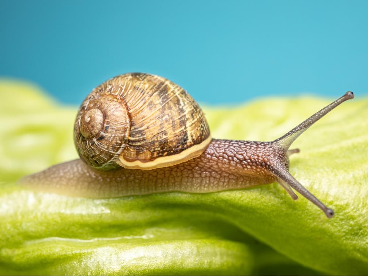 Existen muchas curiosidades de los caracoles.