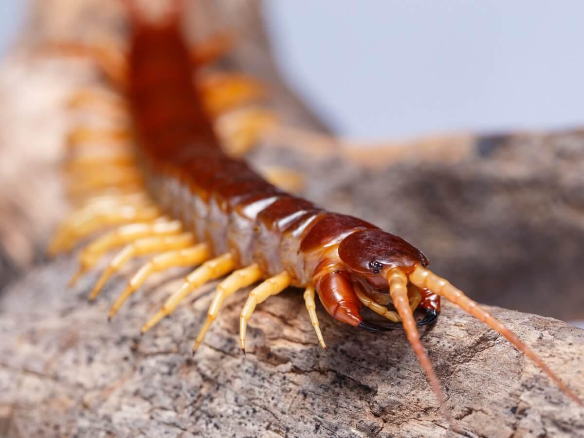 A centipede walking.