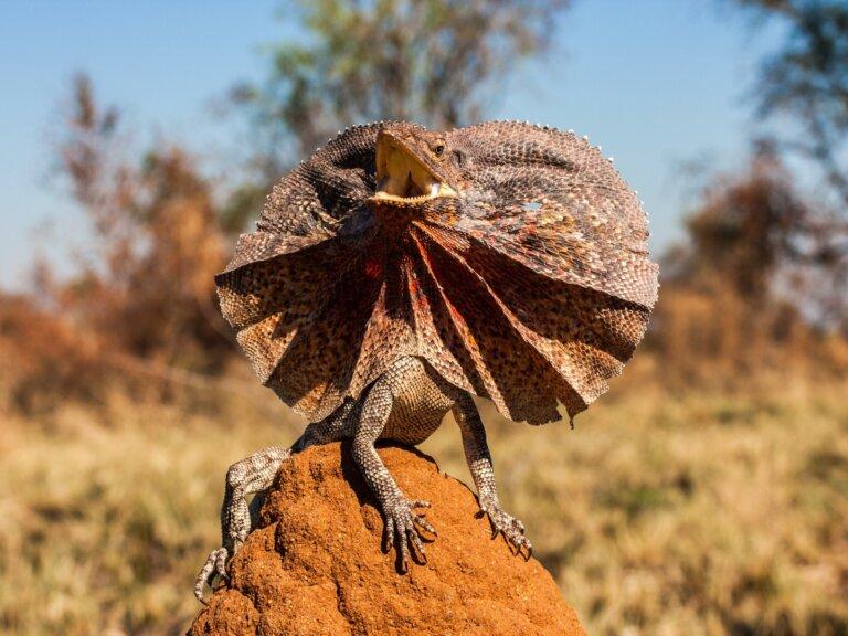 Clamidosaurio king: hábitat y características