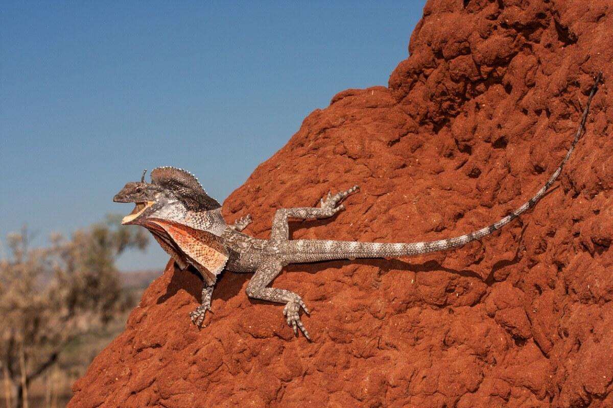 Un clamidosaurio king sobre tierra.
