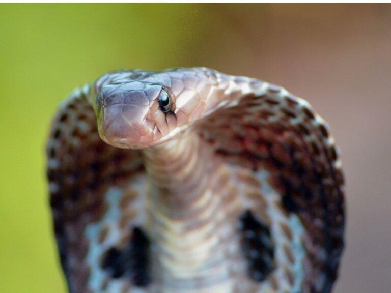 Cobra de anteojos: hábitat y características