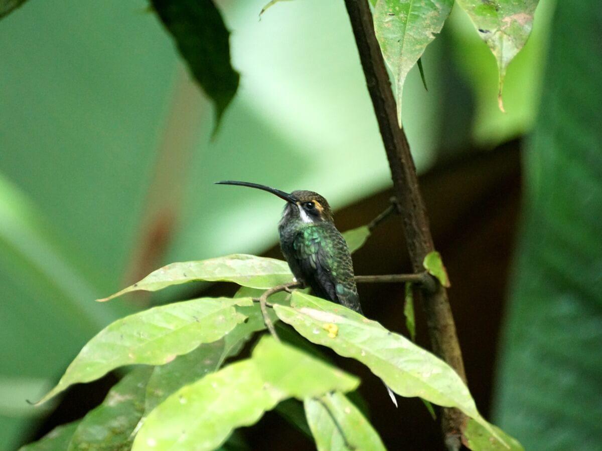 Un colibrí ermitaño yaruqi.