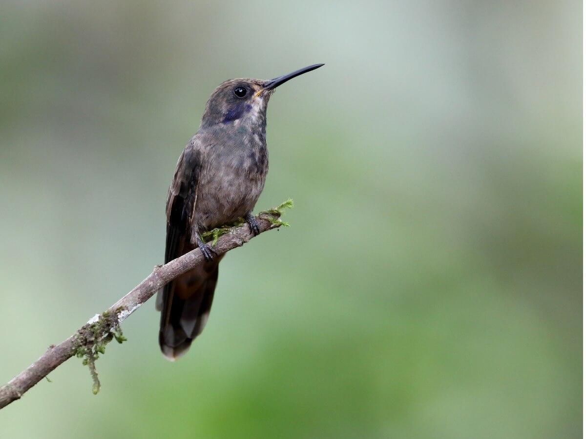 Una de las especies de colibríes.