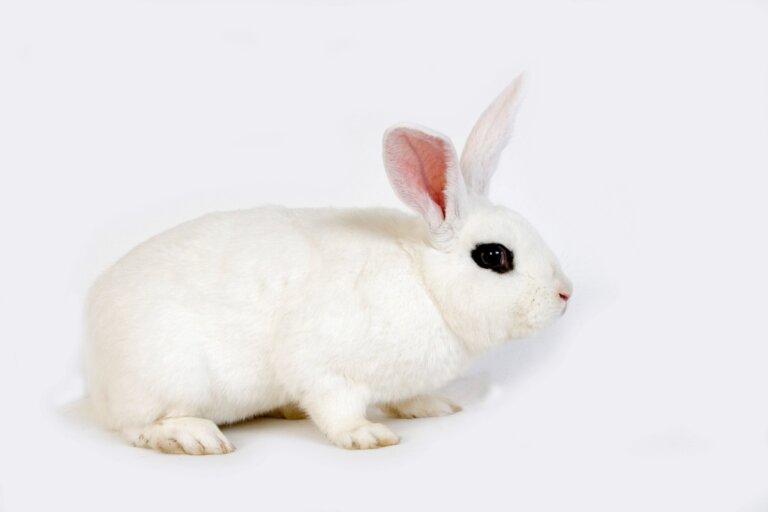 Conejo blanco de Hotot: características y cuidados