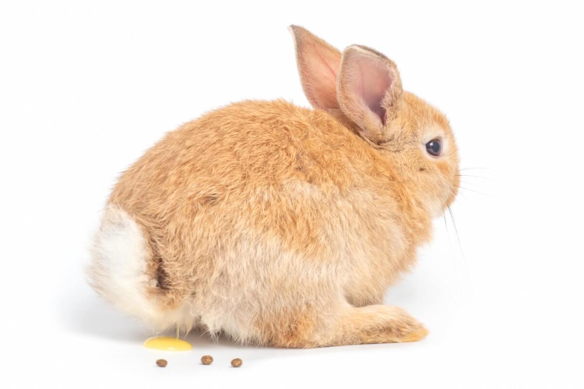 Un conejo hace pis sobre un fondo blanco.