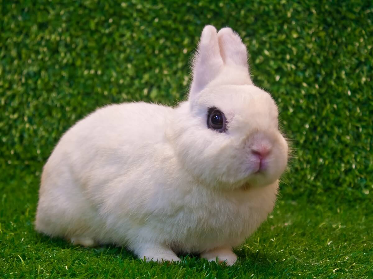 Un conejo Hotot enano.