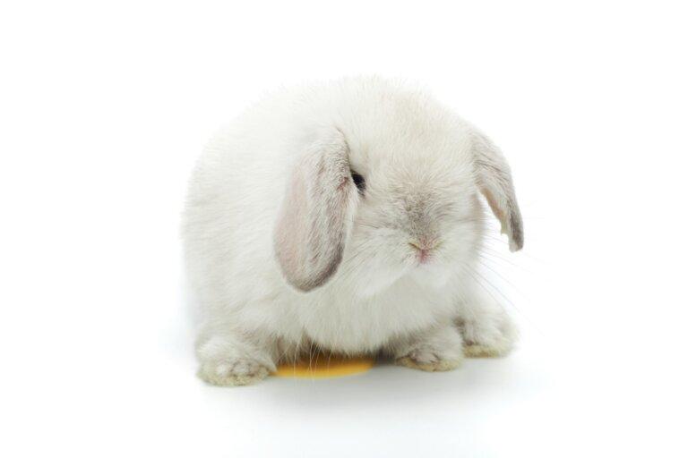 ¿Por qué mi conejo me orina?