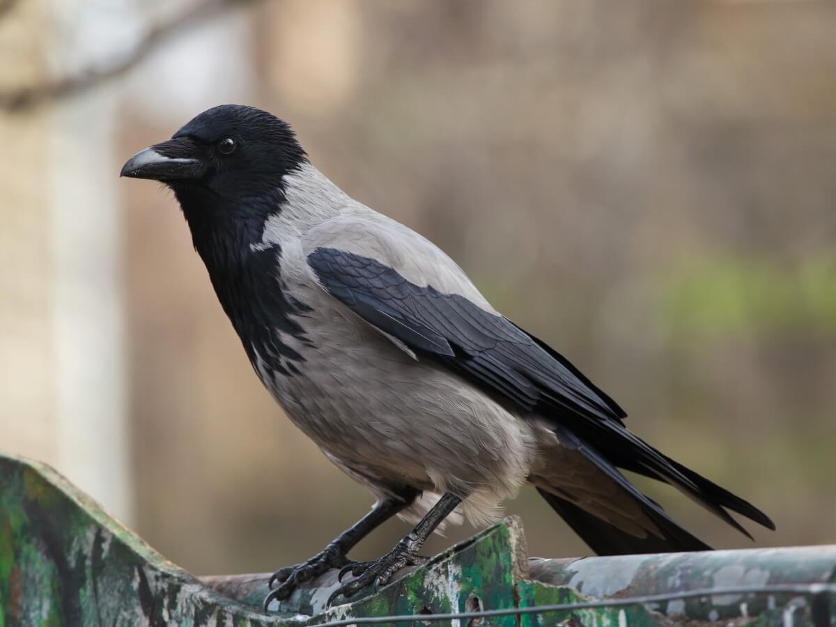 Un corvo della specie Corvus cornix.
