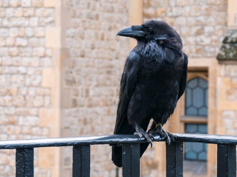 ¿Por qué graznan los cuervos?