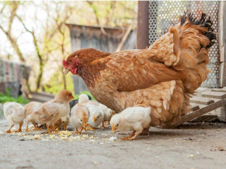Diferencias entre pollos y gallinas