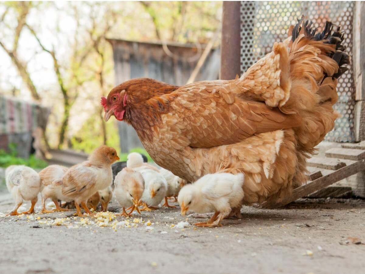 Une poule avec ses poussins.