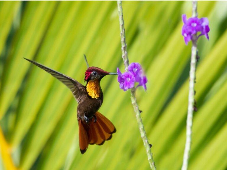 Ciclo de vida del colibrí