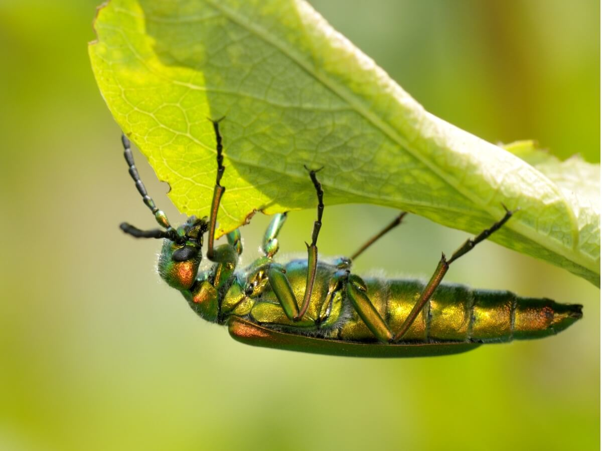Um dos insetos mais venenosos.