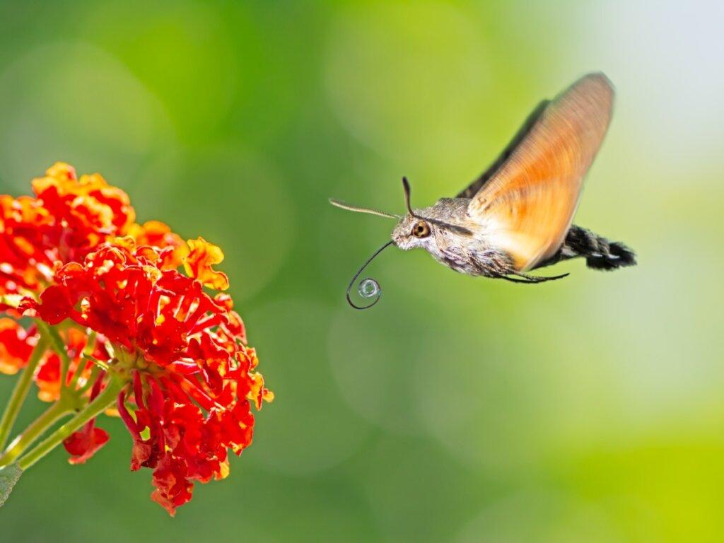 Esfinge colibrí: hábitat y características