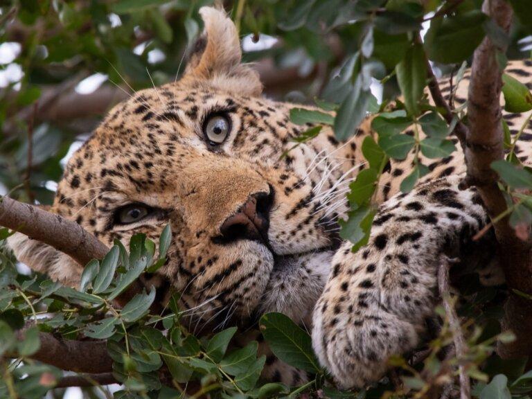 25 curiosidades sobre los felinos salvajes