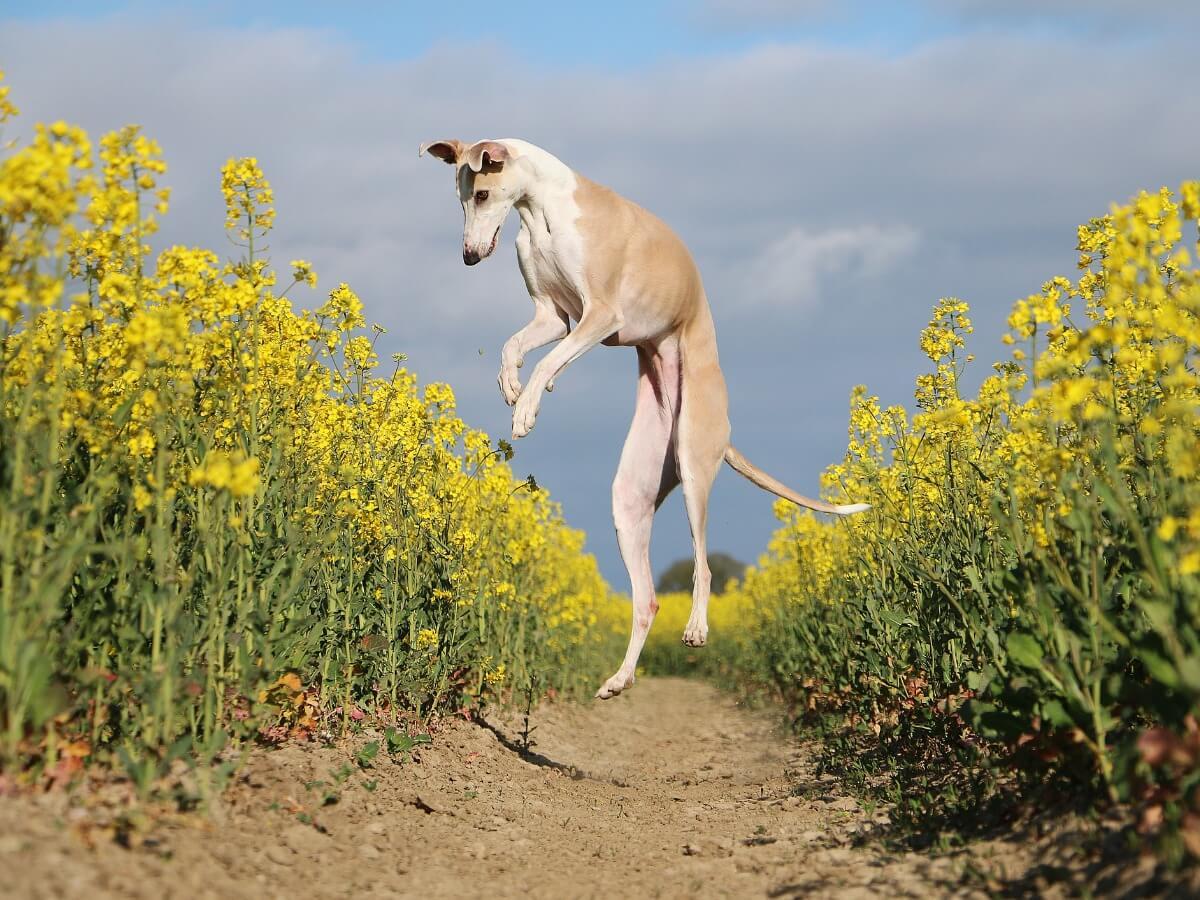 Un galgo saltando en el campo.