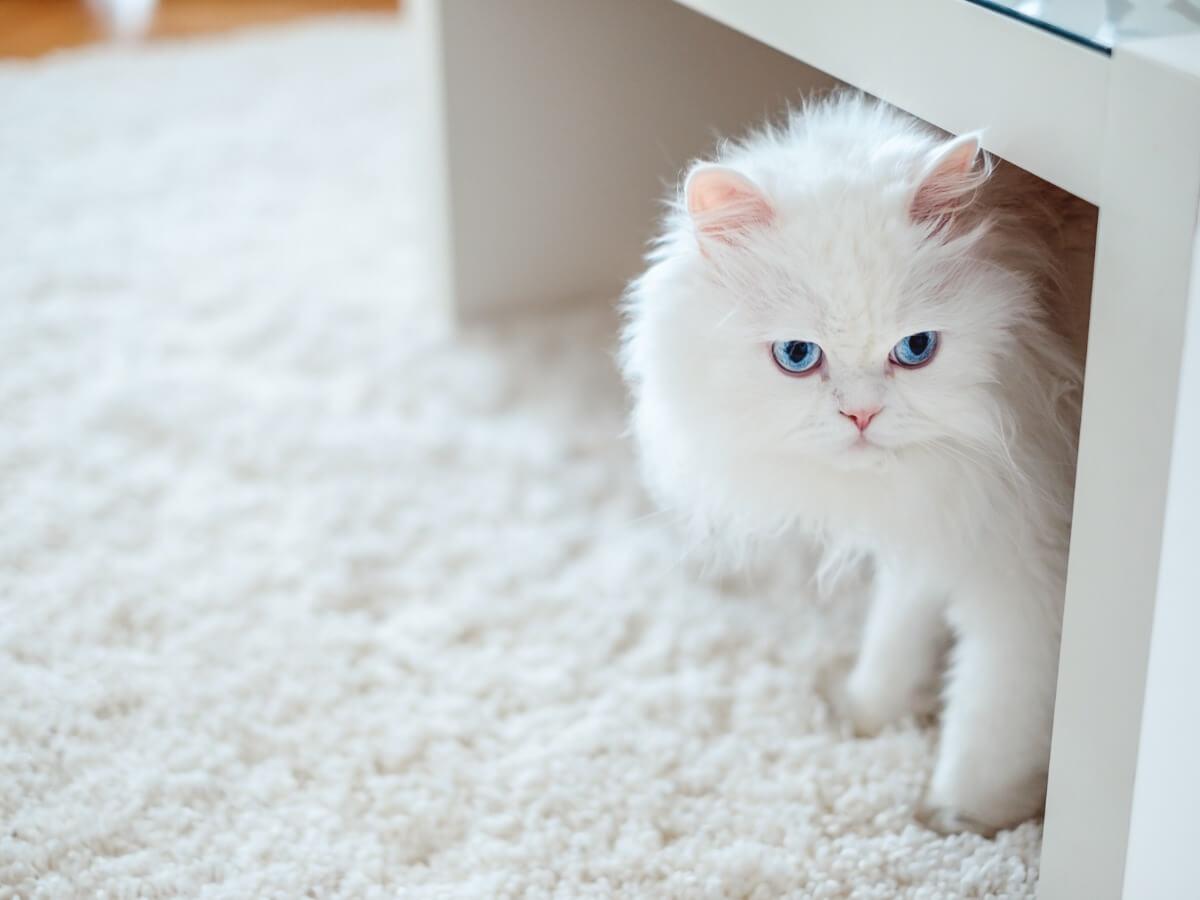 Bir masanın altında bir albino kedi.