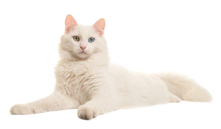 Cuidados del gato albino