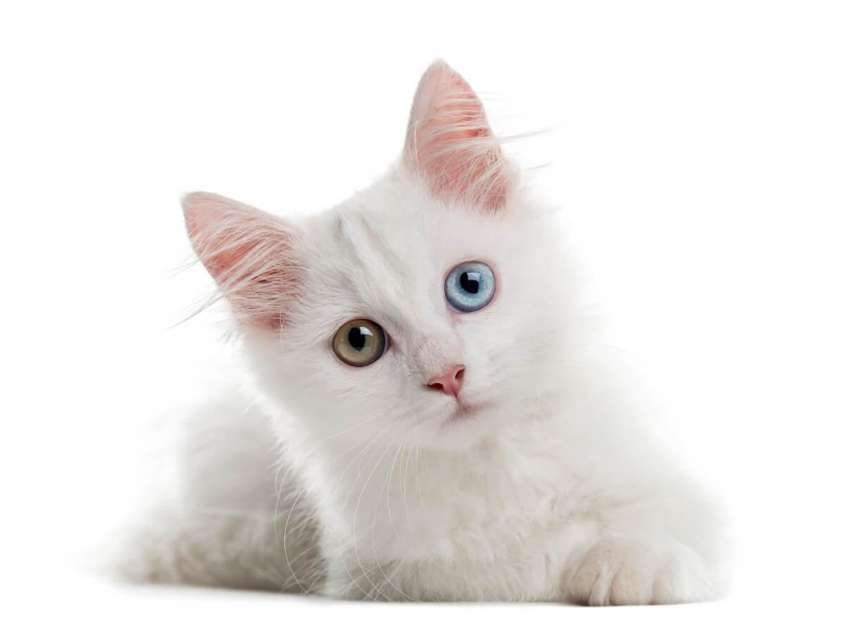 İki renkli gözlü bir albino kedi.