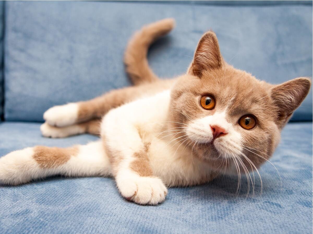 Uno de las razas de gatos naranjas.