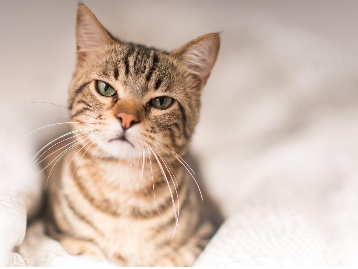 Un gato celoso enfadado.