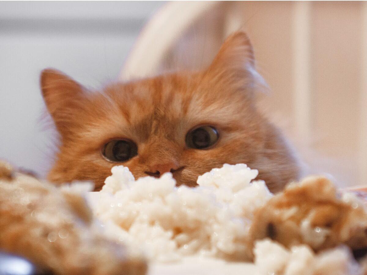 ¿Los gatos pueden comer arroz?