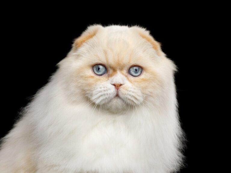 Gato highland fold: todo sobre esta raza