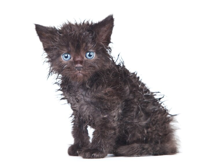 ¿Por qué mi gato no se lava?
