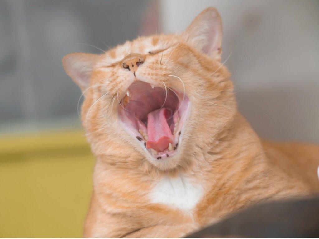 Mal aliento en gatos: causas y tratamiento