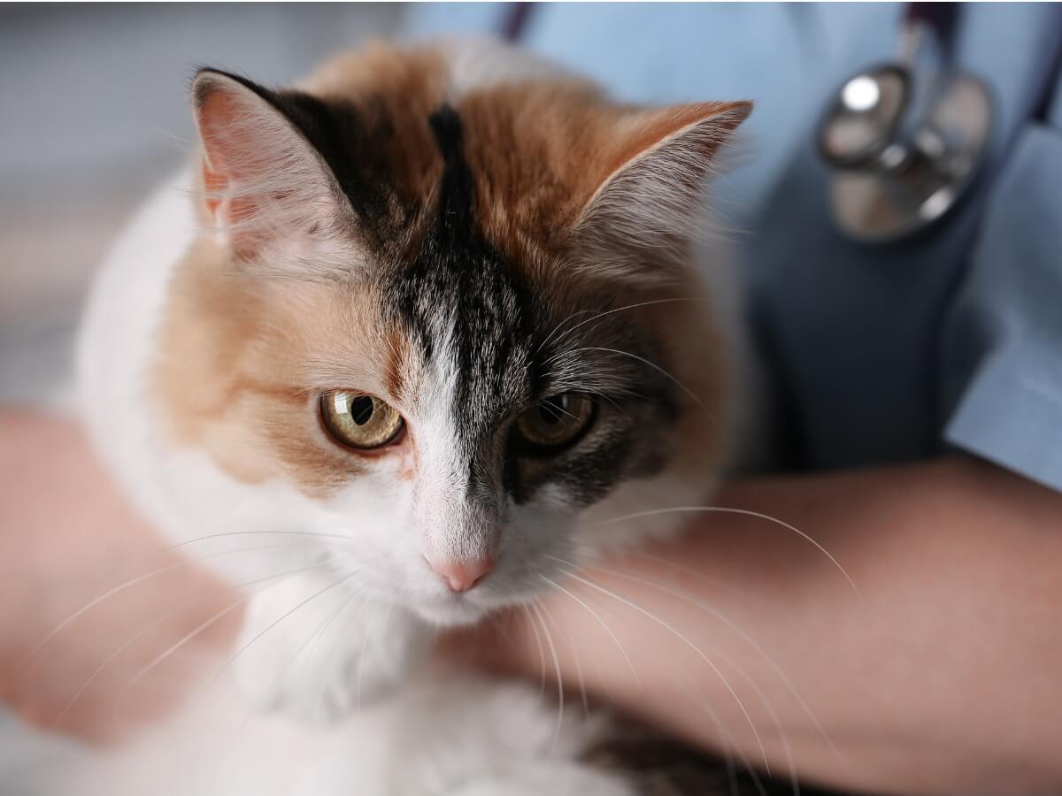 Un gato con granuloma enosinofílico.