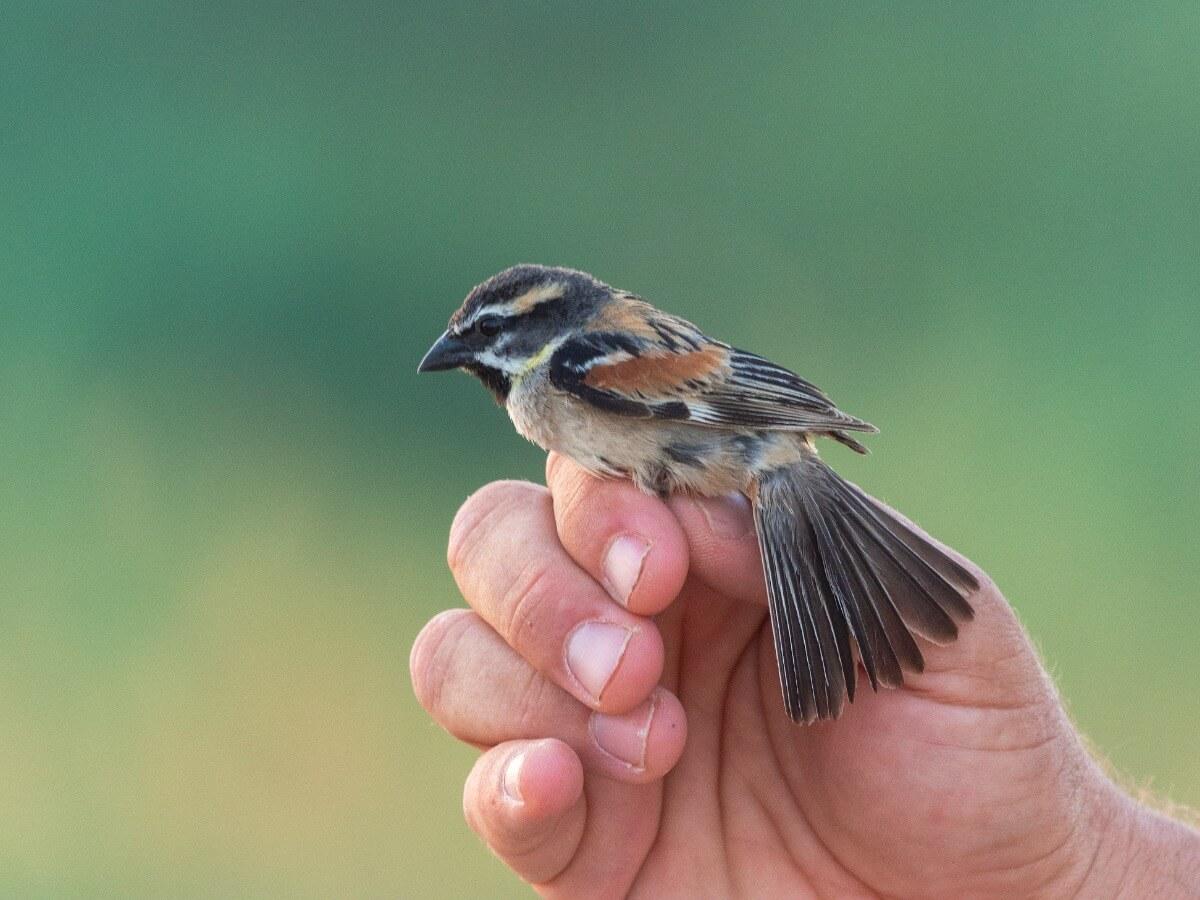 A Dead Sea Sparrow.