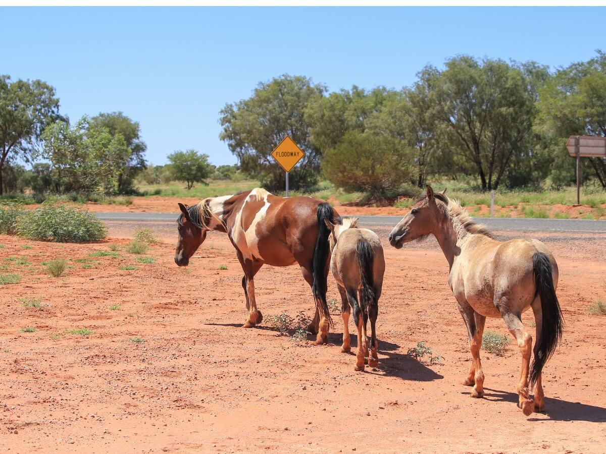 Un groupe de chevaux brumby.
