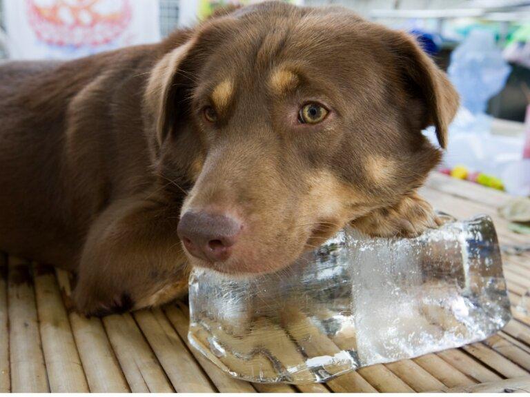 ¿Es bueno el hielo para perros?