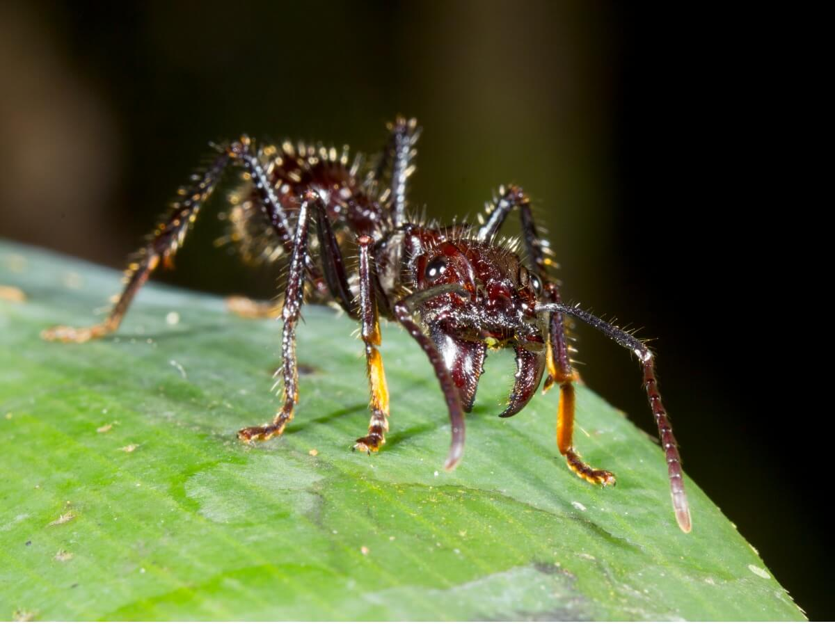 As curiosidades da formiga-bala são múltiplas.