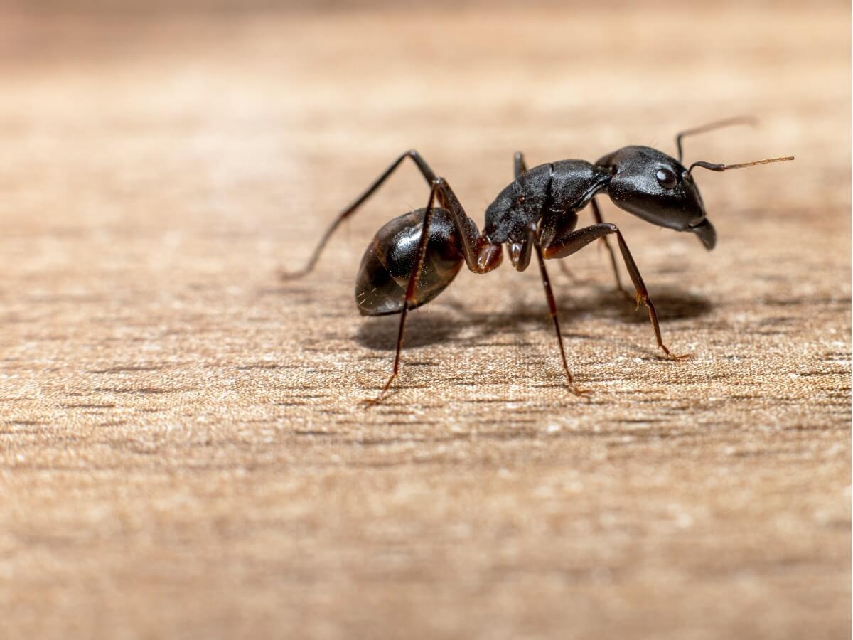 ¿Cómo ahuyentar hormigas?