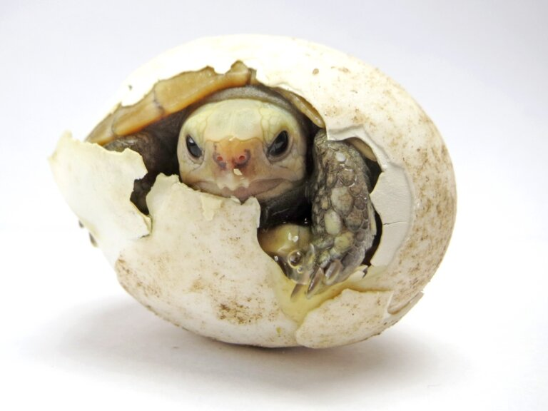 ¿Cómo incubar huevos de tortuga?