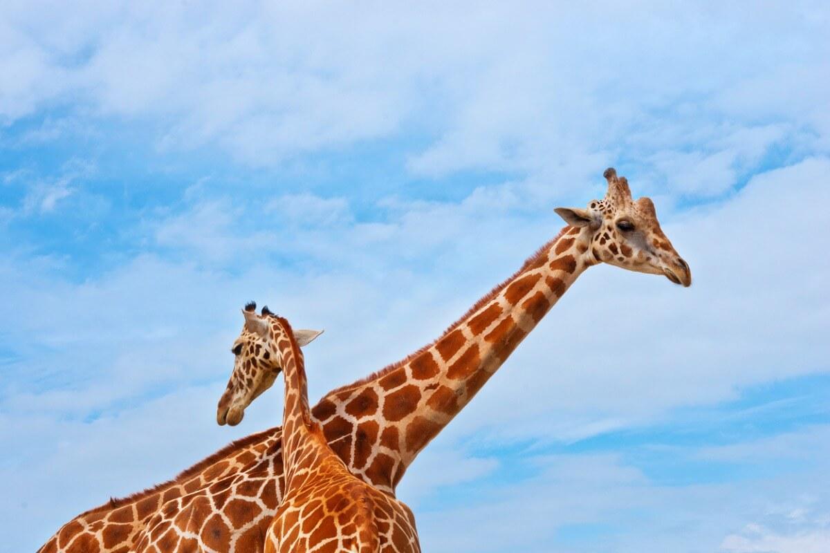 Una jirafa masai sobre el cielo azul.