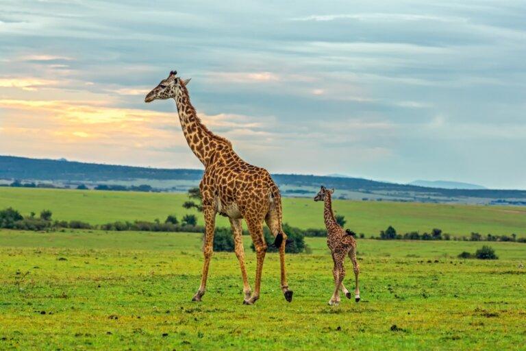Jirafa masái: hábitat y características