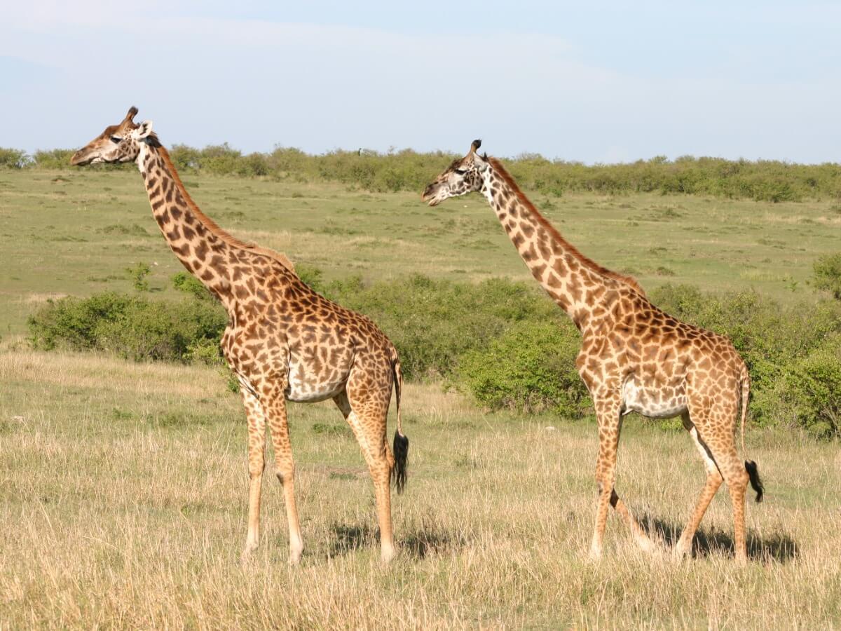 Un par de jirafas masai en la sabana.