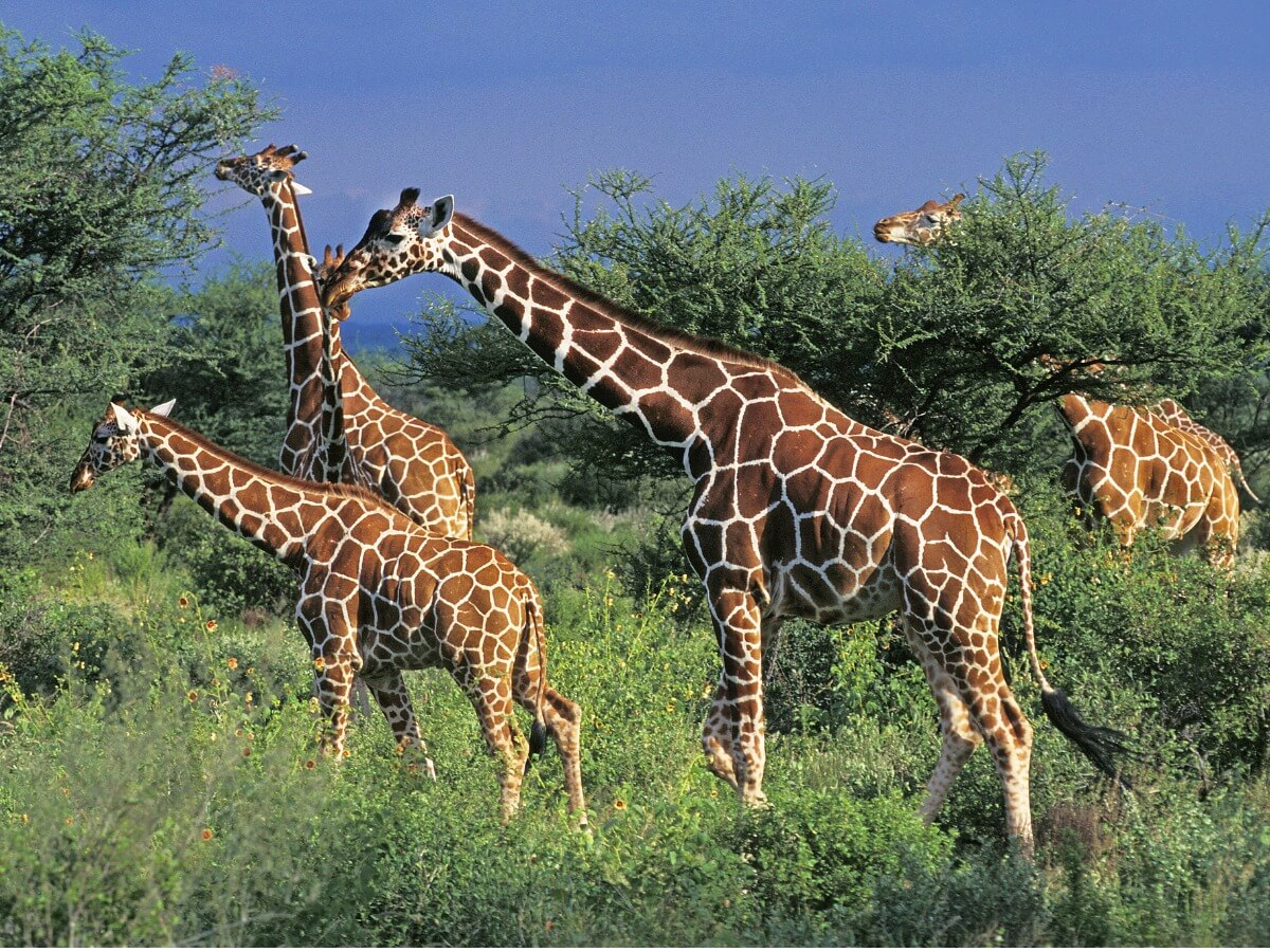 Een Somalische giraf met haar metgezellen
