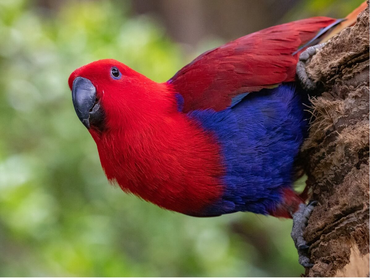 An eclectic red parrot.