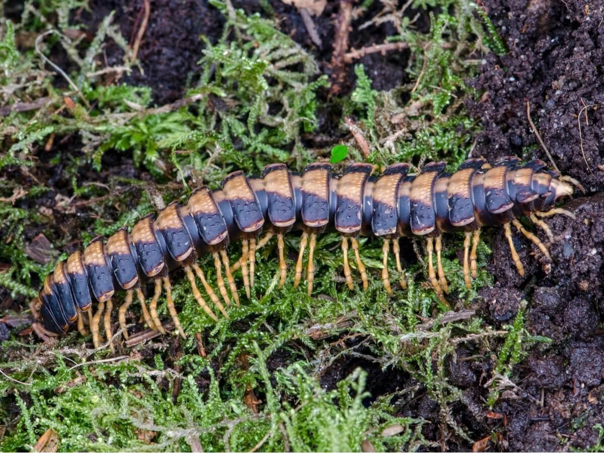 Una de las curiosidades del milpiés es la variedad de formas en las que se presenta.