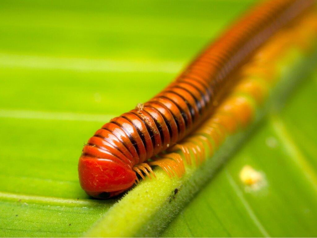 10 curiosidades de los milpiés