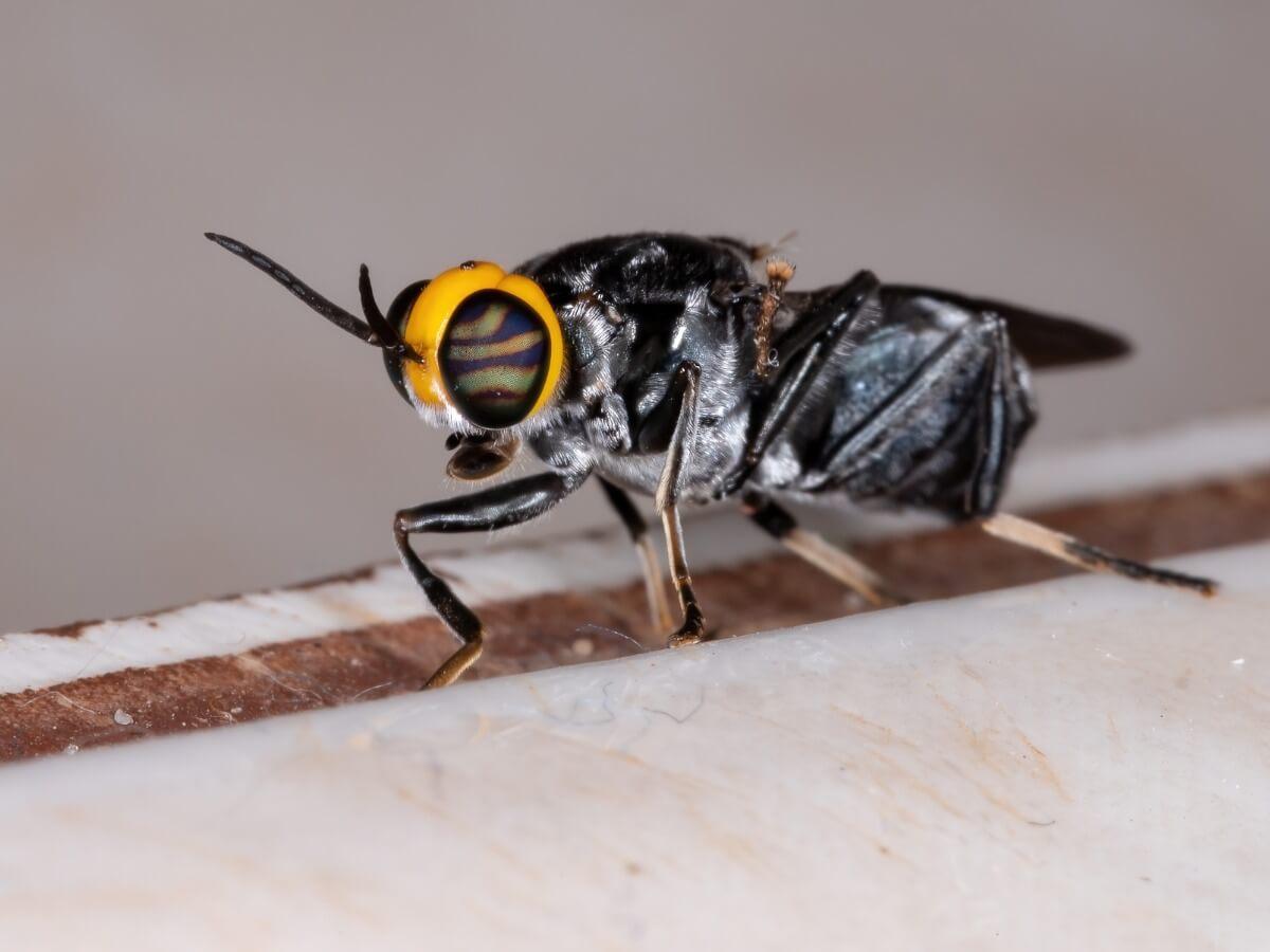 O ciclo de vida das moscas é complexo.