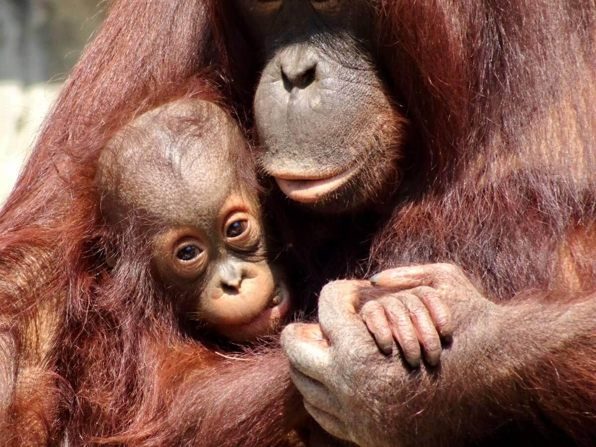 Alcuni oranghi che si abbracciano.