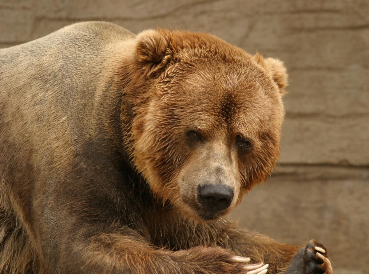 Joaquin Phoenix défend les ours.